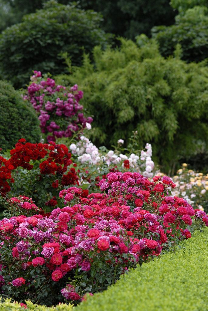 Landscape Ideas: Flower Carpet roses - mixed colors in the landscape. | Perennials, shrubs, and evergreens