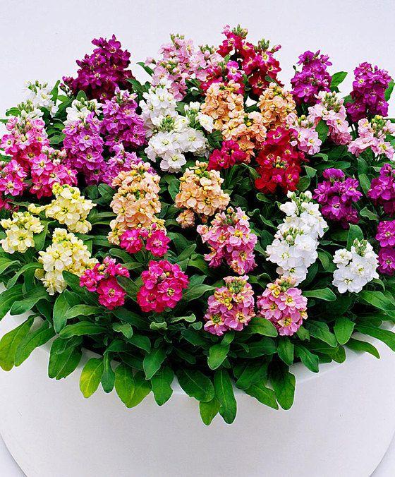 Violier 'Cinderella' gemengde kleuren  Deze geurende zomer violieren mix (Matthiola incana 'Cinderella) fleurt uw border op met de prachtigste kleuren! Door de compacte groei is deze violieren mix ook zeer geschikt om in een bloempot te planten. De makkelijk te kweken violier geeft veel kleurrijke bloemen die ook prachtig staan als snijbloem op de vaas! Zo kunt u ook binnenshuis van deze spectaculaire bloemen genieten. In borders in uw tuin of bloembakken op uw terras of balkon komen de…