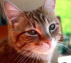 Síntomas de resfriado en gatos - http://www.notigatos.es/sintomas-de-resfriado-en-gatos/