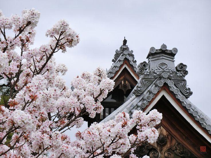 Kyoto Sakura 2016