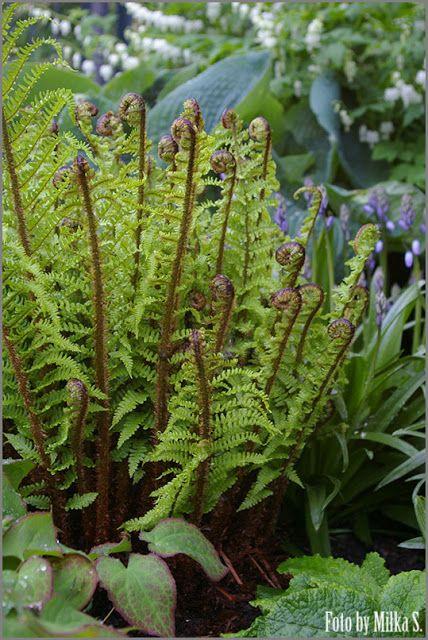 Kolory ogrodu.: Wewnętrzne życie paproci.