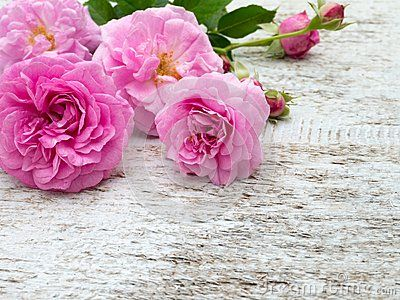 Pink antique roses and buds on the white rustic background
