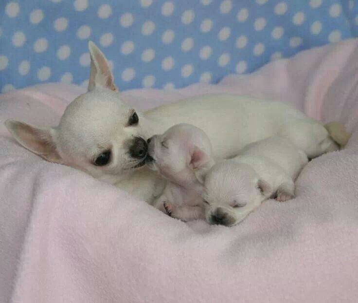 17 Best images about I love Chihuahuas on Pinterest ...