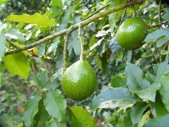 My life would be complete with an avocado tree : )