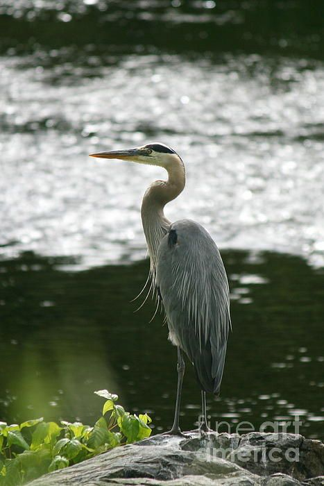 17 best images about blue heron on pinterest watercolors for Blue heron fishing