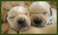 Yellow Labrador Puppies, 3 weeks