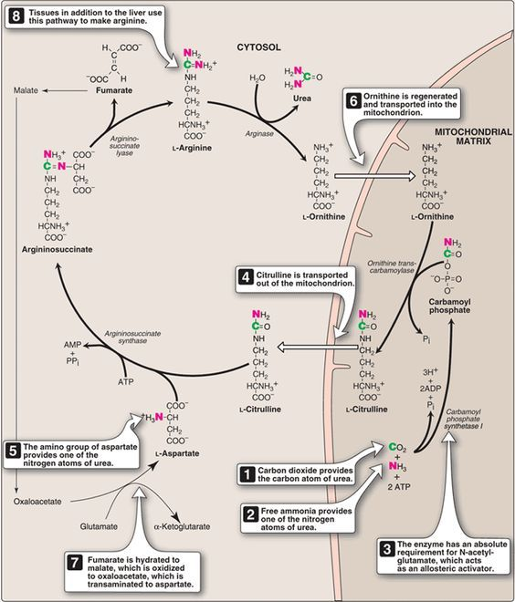 reactions_of_urea_cycle1310620612466.png (781×914)