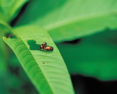 25 Best Ideas About Killing Japanese Beetles On Pinterest
