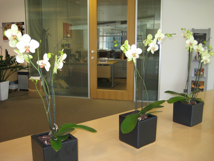A row of Phalaenopsis orchids in square containers