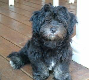 Dog profile for Sophie, a female Kyi Leo