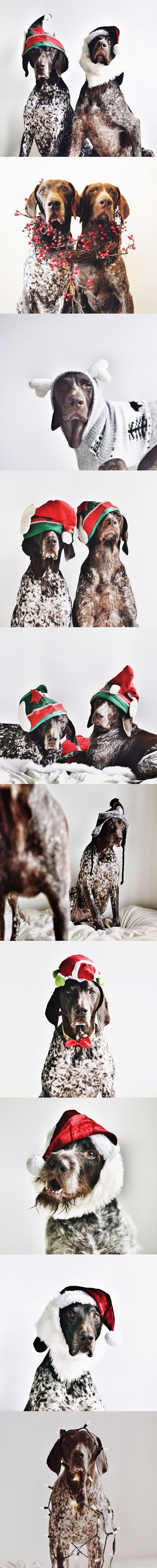 Gus & Travis - Christmas Photos - #GSP German Shorthaired Pointer #braque allemand