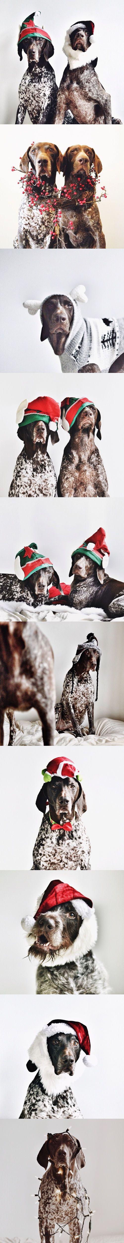 Gus & Travis - Christmas Photos - #GSP German Shorthaired Pointer #braque allemand