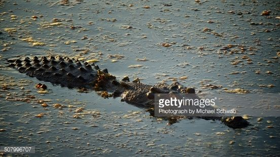 The saltwater crocodile is a hypercarnivorous apex ambush predator capable of taking almost any animal that enters its territory. Apex predators have no predators of their own, residing at the top of...