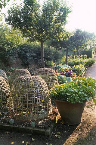 Hatfield House potager garden showing raised beds with protective wicker basket cloches over young plants, ceramic pot with Nasturtiums, line of fruit trees & wall with trained espalier fruit trees.