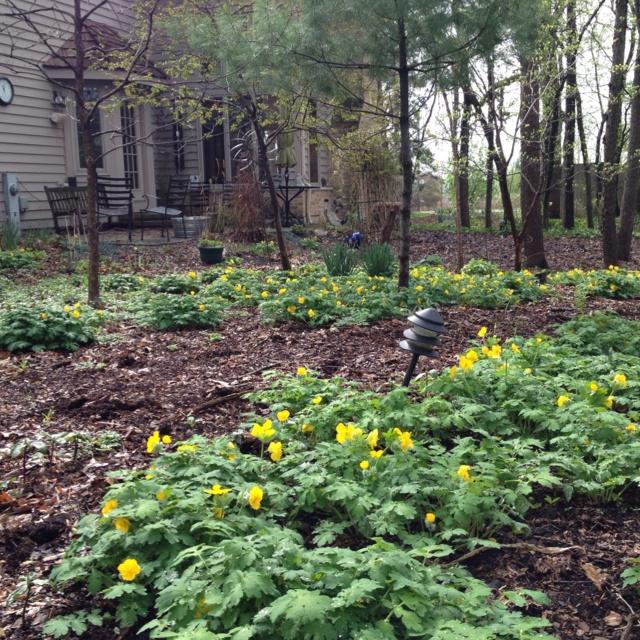 "Indiana Native Plants: Celandine Poppy, Stylophorum Diphyllum. Grows 12-14"" In"