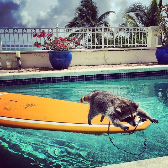 Last year on the Bahaman island of Nassau, Rosie Kemp found a baby raccoon that...Read More »