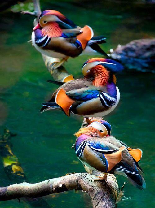 beautiful Mandarin ducks feathers colors
