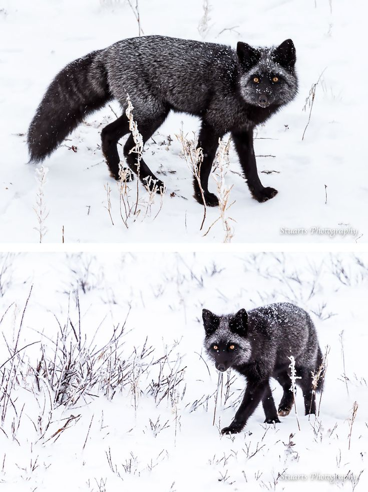 Gallery: Black Fox
