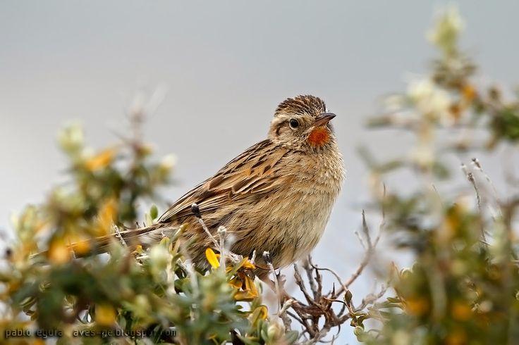 mis fotos de aves: Espartillero austral [Asthenes anthoides] Austral ...