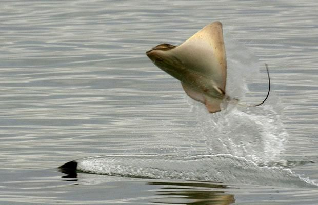 A Stingray leaps out of the water as it is hunted by a Killer Whale whose fin can be seen below the Ray.