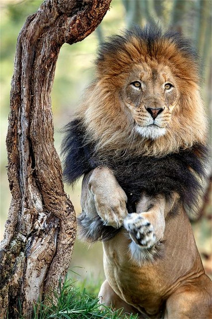 best 25 group of lions ideas on pinterest picture of lion big
