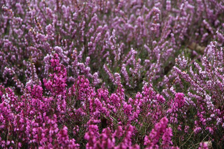 Winterheide in felroze en zacht roze tinten.