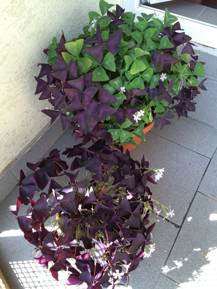 1000 images about oxalis on pinterest indoor flowering plants butterfly plants and wine - Shamrock indoor plant ...