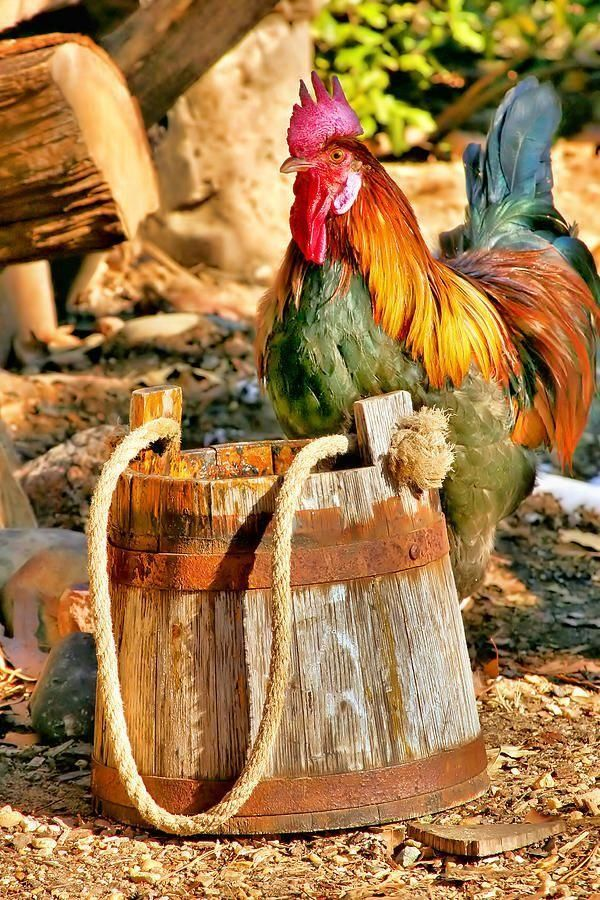 colorful rooster by fineartamerica.com