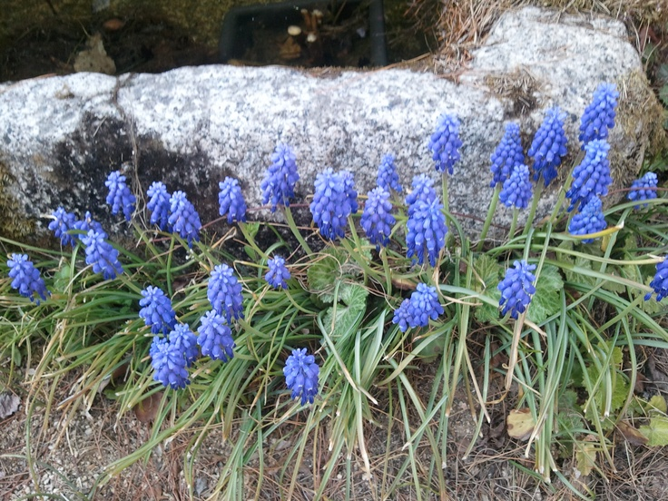Violet  Muscari  in my garden,  South KOrea