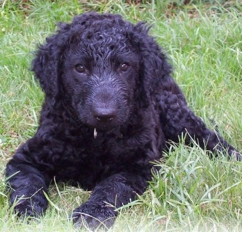 104 best curly coated retriever images on pinterest