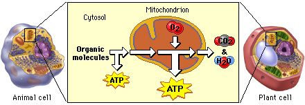 Cellular respiration is the process by which the chemical energy of food molecules is released and partially captured in the form of ATP. Carbohydrates, fats, and proteins can all be used as fuels in cellular respiration, but glucose is most commonly used as an example to examine the reactions and pathways involved.
