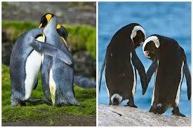 Картинки по запросу любовь пингвины