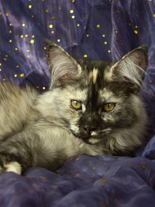 Maine Coon, black torti smoke (fs). CH Belle Beatrix Nelly Ness*CZ
