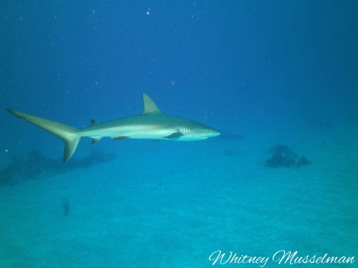Shark diving San Salvador Bahamas