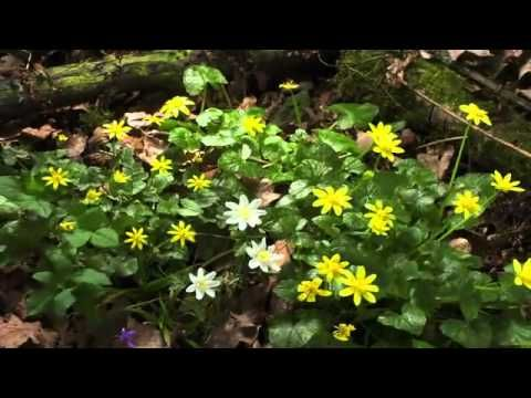 Totally love this description of the spring blossoming in the forest  ▶ BBC Planet Earth Seasonal Forests spring.flv - YouTube