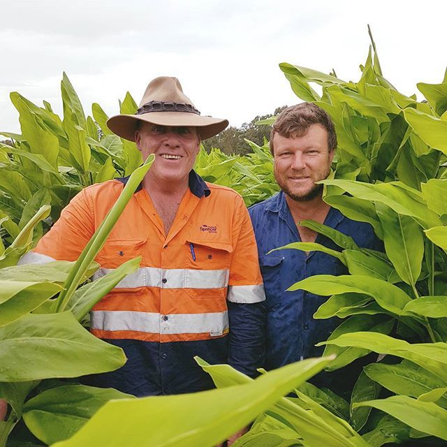 #behindthescenes Andrew Christodoulou and Jeff Skilton getting amongst the Turmeric crop at Moore Park in the Bundaberg region. Turmeric is arguably the most powerful herb on the planet at fighting disease due to its many healing properties. #aussiefarming #freshproduce #eatfresh #farming #queensland #bundabergregion #farmlife #healthyeating #moorepark #turmeric #healthy #goodforyou #healing #instafood