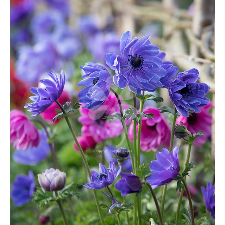 Anemone coronaria 'St Brigid Double Mix', this is a fave at Perch Hill because of its beautiful and long-flowering mix. Pick yours today.