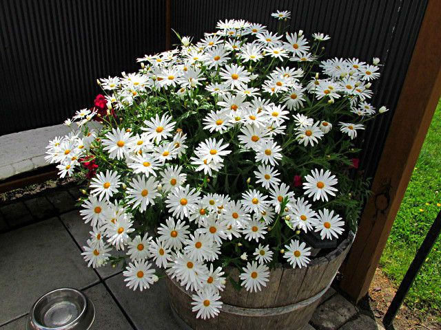 Tub of daisies