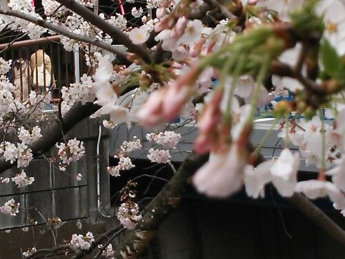 Spring 2016 目黒川