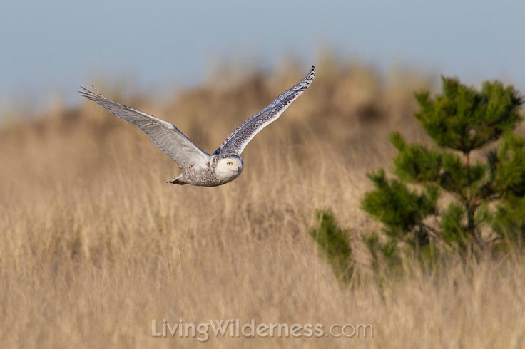 Snowy owl in flight. Kevin Ebi: Snowy Owl