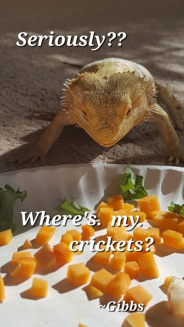 My dragon Pancake would do the same.   Gibbs wants his crickets!