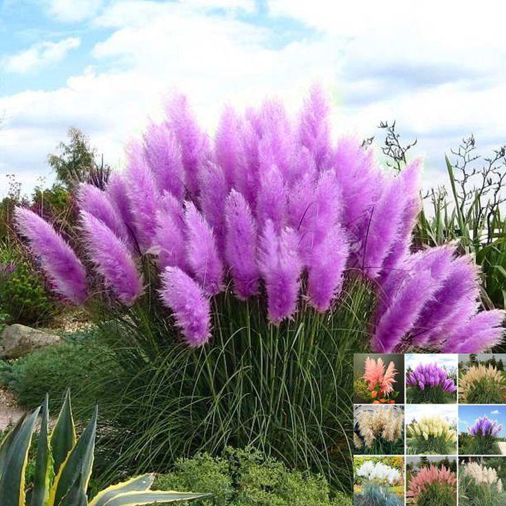 500 Pcs/paquet pampas herbe bonsaï graines uncommon reed graines de fleurs pour los angeles …