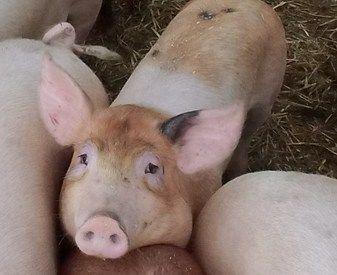 Het roer om: VAIR diervriendelijkere varkenshouderij   Compassion in World Farming Nederland