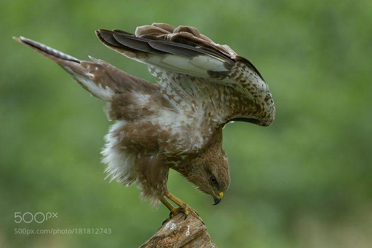 Common buzzard by Zbikuj via http://ift.tt/2fOMzEq