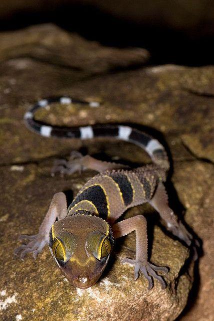 libutron:  Cyrtodactylus macrotuberculatus- Langkawi | ©Norhayati Ahmad(Malaysia) This handsome gecko is scientifically named Cyrtodactylus...