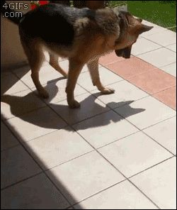 This dog who thinks his shadow is a real, living thing. | 23 Dogs Who Are Too Adorably Stupid For Their Own Good