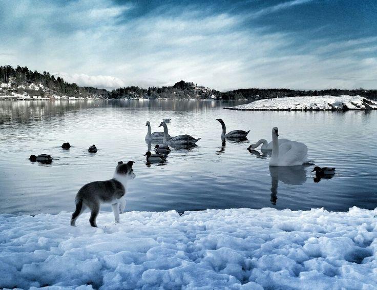 Holmen strand. Asker. Norwegian lundehund
