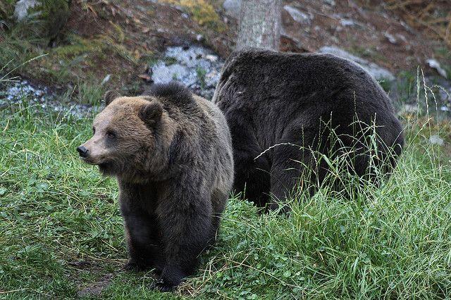 Il Parco dell'Orso Bruno in #Trentino: http://goo.gl/rHGDwc  #orsobruno #parcofaunistico
