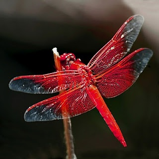 Red dragonfly..had one flying around me and my pond and couldn't believe it!!!