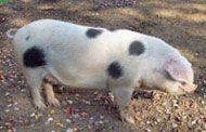Gloucestershire Old Spots Livestock